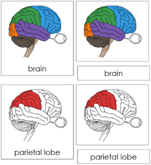 Brain Nomenclature Cards (red) - Montessori