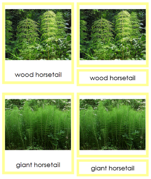 8 types of Sphenophyta (Horsetails) - Montessori Print Shop