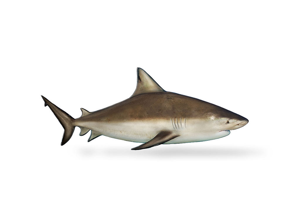Bull Shark Decal