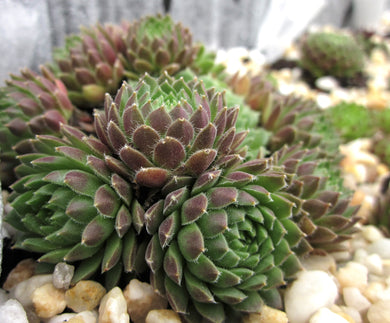 Sempervivum 'Perkinse' (SMALL)  小卷絹 (迷你)