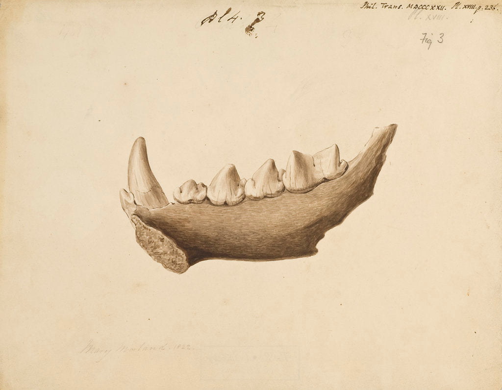 Detail of Hyaena jaw by Mary Morland