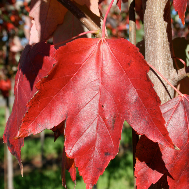 <i>Acer rubrum</i> 'Red Sunset'<br>Red Maple