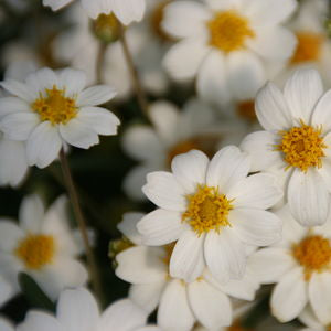 <i>Melampodium leucanthum</i><br>Black Foot Daisy