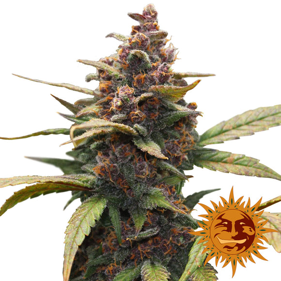 Barney's Farm Ayahuasca Purple Feminised Seeds