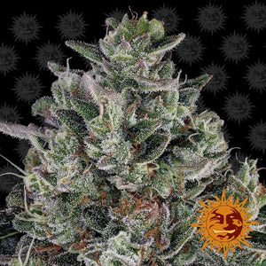 Barney's Farm Glookies Feminised Seeds