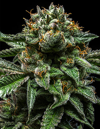 Ripper Seeds ChemPie Feminised Seeds