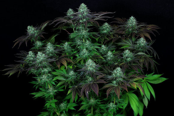T.H. Seeds Dark Star Kush Feminised Seeds