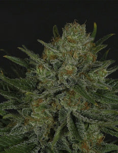 Ripper Seeds Double Glock Feminised Seeds