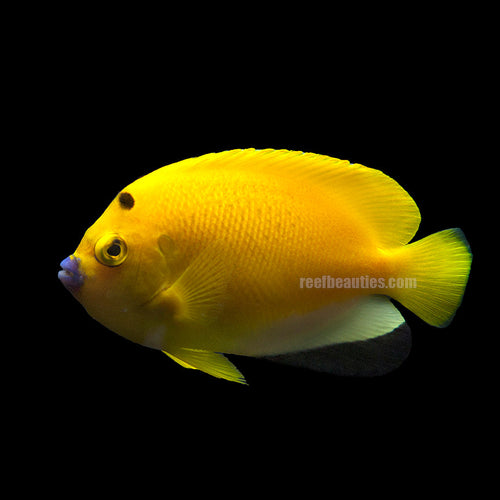 Flagfinned Angel (Apolemichthys Trimaculatus)