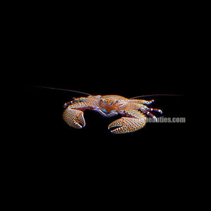 Porcelain Crab (Petrolisthes Galathinus)