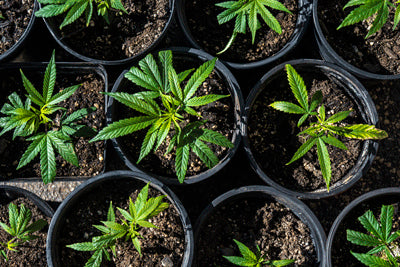 Hemp Plants Growing in Pots